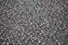 Flamingoes -Migration
