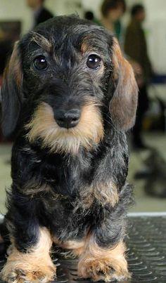 ❤️Wirehaired Dachshund #dachshund