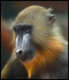Young Mandrill -- looking meditative...