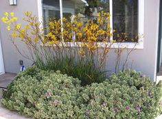 The 2 Minute Gardener: Photo - Kangaroo Paws mixed with Variegated Hebe
