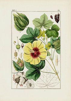 Gossypium Cotton Print USD $55 Pharmaceutical Waarenkunde by Eduard Winkler 1852