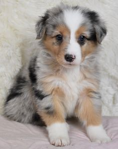 Friendly Friendly Source by inthemellane The post Friendly appeared first on McGregor Dogs. Cute Baby Puppies, Super Cute Puppies, Aussie Puppies, Baby Animals Super Cute, Cute Little Dogs, Cute Dogs And Cats, Australian Shepherd Puppies, Teacup Puppies, Corgi Puppies