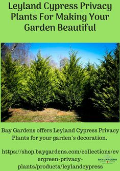 Bay Gardens offers Leyland Cypress Privacy Plants for your garden's decoration. Leyland Cypress plants are the best plants for making privacy from your pesky neighbors. Its gorgeous look able to make your garden beautiful and maintaining privacy. If you have needs of these both characteristics then get in touch with us.