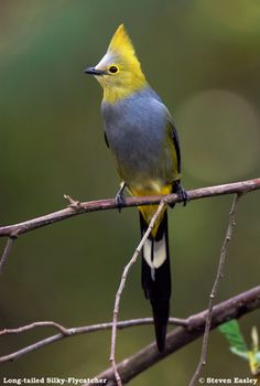 Long-tailed Silky-flycatcher, Ptilogonys caudatus, is a passerine bird which occurs only in the mountains of Costa Rica and western Panama,