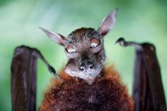 Bat Portraiture by Benny Liao, via 500px.I shoot this bat during my zoo vacation. I found him in the fragile forest, the bat is quite big around 40cm tall. Interesting, i found him during his lunch time, he's eating couple fruits that provided by the zoo.