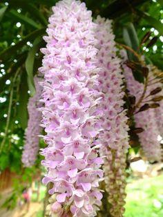 กล้วยไม้, Orchids, Orquídeas.