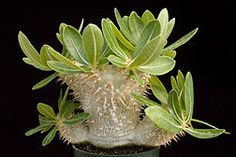 Pachypodium densiflorum v brevicalyx