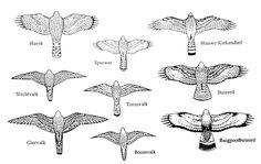 Zoekkaart roofvogels (tekenoverzicht)