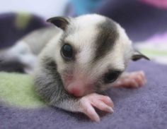Adorable little white face sugar glider joey just a week OOP at NH Sugar Gliders.