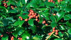 How to Grow an American Holly Tree