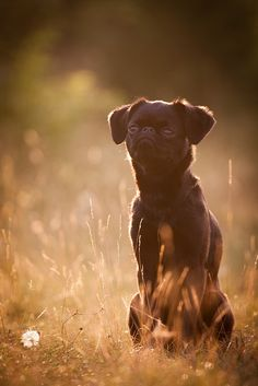 Petit Brabancon ~ a. Yorkie, Chihuahua, Griffin Dog, Griffon Bruxellois, Brussels Griffon, Cutest Thing Ever, Dog Photography, Little Dogs, Doge