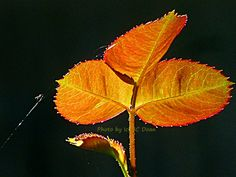 Shiny Rose Leaf