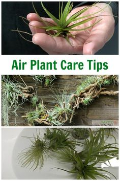 Air Plant Care: Tending Watering and Fertilizing Tillandsia. Air Plant Care: Tending Watering and Fertilizing Tillandsia. Garden Plant Stand, Succulent Planters, Succulents Garden, Moss Garden, Cactus Plants, Plant Stands, Succulent Wall, Garden Plants, Hanging Plants Outdoor