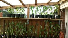 Nice solution on how to grow loads of chilli plants in a small space.