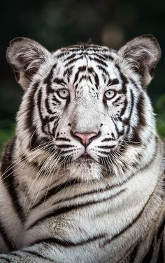 (via 500px / White tiger by Riyaz Quraishi)