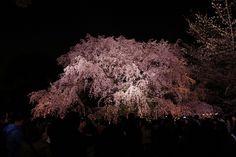 六義園 しだれ桜 夜桜 rikugien_shidarezakura (2)