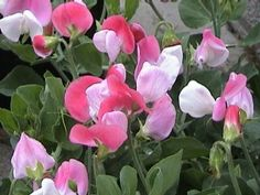 Seems I made a mistake thinking Latyrus odoratus is perrenial. Have to plant more seeds of all colours, so far planted only blue that we were missing last year. Meanwhile found Nederlandse Lathyrus Vereniging!