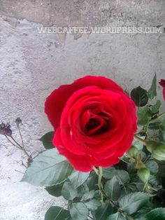 Trandafirul meu de vară, e la țară. Și-un iepuraș. Povestea a început la Carmen!