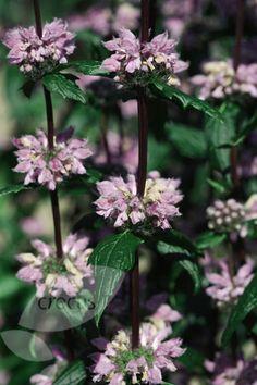 Buy Jerusalem sage Phlomis tuberosa 'Amazone': Delivery by Crocus.co.uk
