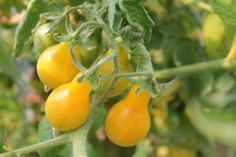 Yellow tomatoes grow