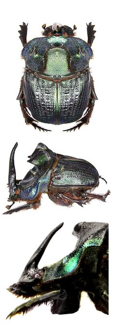 Coprophanaeus ensifer, male and female (bottom)