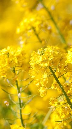 Yellow Cole Flower Spring Nature iPhone Wallpapers