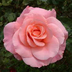 Congratulations Rose: Hybrid Teas; 1978, bush, continuous flowering, scented
