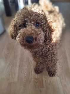 poodle https://www.facebook.com/niconki/
