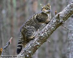 Sottish Wildcat (Felis silvestris silvestris grampia)