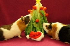 Weihnachtsbaum für Meerschweinchen / guinea pig christmas tree Best Picture For Rodents control For Your Taste You are looking for something, and it is going to tell you exactly what you are looking f Guinea Pig Breeding, Guinea Pig Food, Guinea Pig House, Pet Guinea Pigs, Guinea Pig Care, Diy Guinea Pig Toys, Guinea Pig Costumes, Pet Pigs, Hamsters