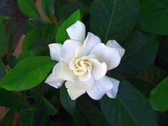 Love the fragrant white gardenia.  The scent takes me back to my wedding day - it was my husband's boutonniere.