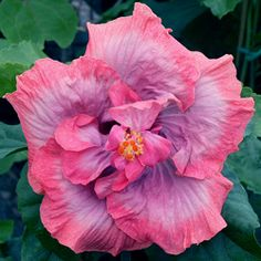 hibiscus flower and its parts Hibiscus Garden, Blue Hibiscus, Hibiscus Plant, Peonies Garden, Hibiscus Flowers, Flowers Nature, Exotic Flowers, Tropical Flowers, Purple Flowers