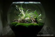 My BiOrbAir terrarium, as pictured on the 19th March 2016.  I have a Lepanthopsis astrophora 'Stalky' and a Restrepia pururea 'Rayas Vino Tinto' in flower inside this terrarium.
