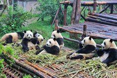 Turistea entre osos pandas y budas en Chengdu
