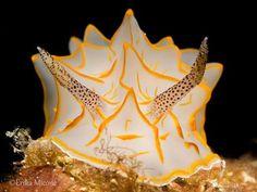Underwater Macro Photographers ·  ·   Halgerda diaphana  Member Photographer Name: Erika Micone