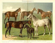 RACE HORSES ARABIAN THOROUGHBRED HALF BLOOD HUNGARIAN NORFOLK SHETLAND PONY, 1894 Chromolithograph