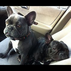 """""""She's a bed hog too!"""", classic French Bulldog brother and sister❤️"""