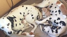 PAIR OF DALMATIANS FOSTER 5 KITTENS IN NEED David Utter, Dog Trainer: Service & Therapy Dogs, Behavior Modification, Obedience. Train and Board. (http://dogtrainingorangecountyca.com/)www.DavidUtter.com (www.Pack-buddy.com) 1-888-959-7463