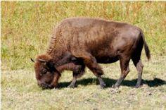 Native Hoofed Animal Enclosure