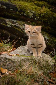 Cute Cartoon Baby Jungle Animals Cute Animals On Earth Kittens Cutest, Cats And Kittens, Cute Cats, Small Wild Cats, Big Cats, Felis Margarita, Wild Cat Species, Cutest Animals On Earth, Sand Cat
