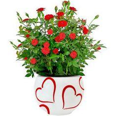"""Elas são lindas e florescem o ano todo mostrando assim, toda a sua beleza em tamanho pequeno. Seu nome científico é """"Rosa Chinensis"""" e é da ... Green Garden, Green Plants, Romantic Flowers, My Secret Garden, Garden Projects, Dahlia, Container Gardening, Indoor Plants, Bonsai"""