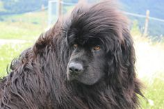 Newfoundland - Remember Nana, the nurse dog of the Darling family from Peter Pan? The large romping, lovable dog may be America's most well known Newfoundland. Also known for short as the Newf or Newfie among Newfoundland owners, this gigantic breed has a sweet disposition that makes him a wonderful dog for kids.