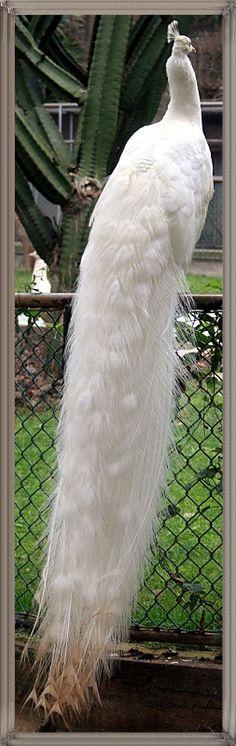Beyaz tavus Kuşu