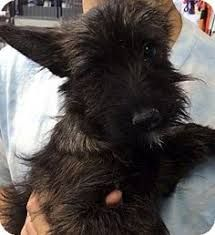 Fourche Terrier Yorkie/ westie mix super rare I couldn't