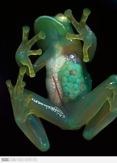 Glass Frog. Has translucent abdominal skin, allowing you to see the frog's internal organs