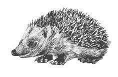 hedghehog pen illustration