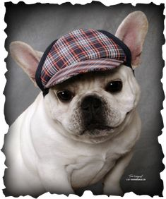 Guido, what an adorable French Bulldog