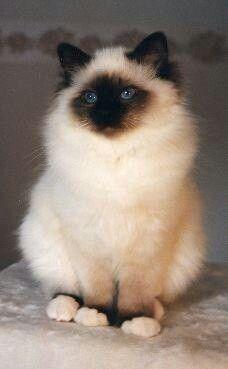 Birman cat. Pretty kitty!