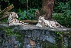 Wondering what to do in Singapore? This travel guide will show you the best attractions, activities, places to visit and fun things to do in Singapore. Start planning your itinerary and bucket list now! Singapore Zoo, Singapore Travel, Animals And Pets, Baby Animals, Cute Animals, Exotic Animals, Beautiful Creatures, Animals Beautiful, Big Cats