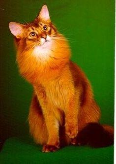 Somali - gorgeous orange/coppery fur